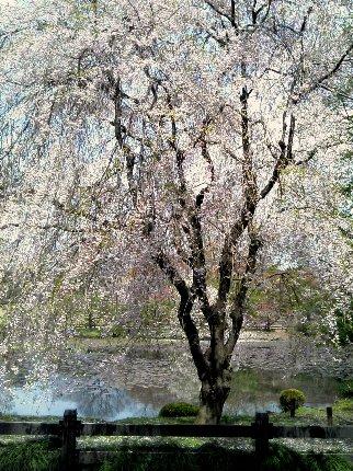 枝垂桜もきれいでした