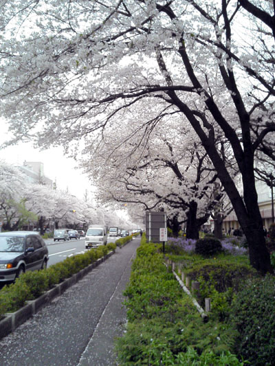 駅前の桜並木