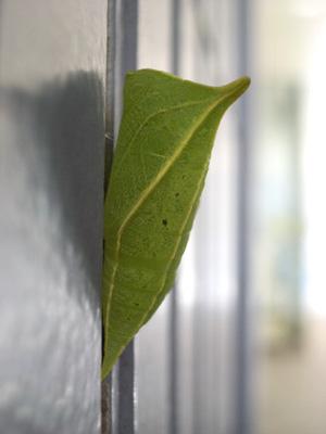 アオスジアゲハの蛹(2007年6月12日撮影)