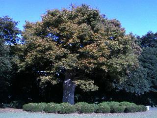 イギリス風形式庭園の大きなケヤキの木