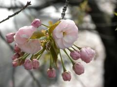 イチヨウ?(新宿御苑、2010年4月6日撮影)