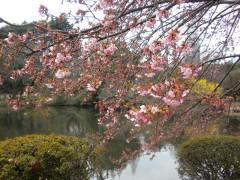 修善寺寒桜(レストハウス前)