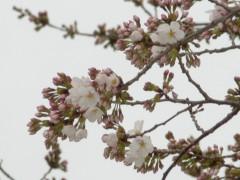 駅前のソメイヨシノ(3月31日朝撮影)