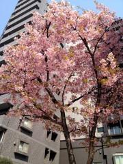 カワヅザクラ(1) (2014年3月12日撮影)