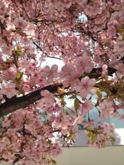 カワヅザクラ(2) (2014年3月12日撮影)