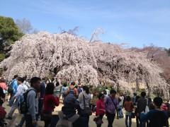 新宿御苑2(2014年3月29日撮影)