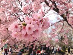 新宿御苑3(2014年3月29日撮影)
