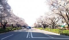 桜のシンメトリー(2014年3月31日撮影)