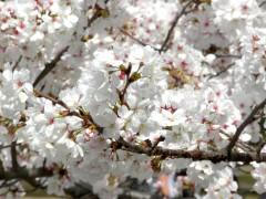 新宿御苑6(2014年3月29日撮影)