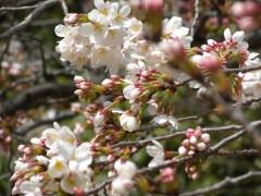 新宿御苑7(2014年3月29日撮影)