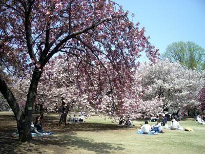新宿御苑は八重桜が満開!