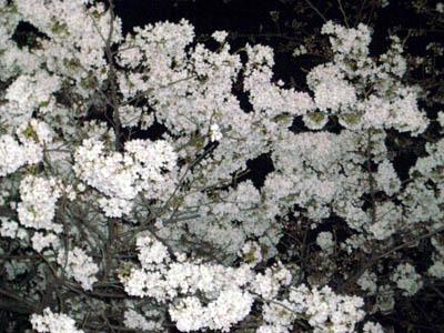 今夜の駅前の桜はこんなに咲いてました