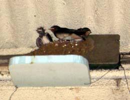 駅のホームで見つけたツバメの巣